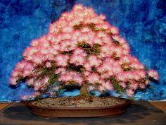Aqui uma galeria com a beleza de 100 bonsais em floração. São Azaléias…