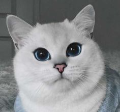 Is Coby The World's Most Beautiful Cat? ... see more at PetsLady.com ... The FUN site for Animal Lovers