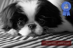 Black and white photograph of our black and white female Japanese Chin Dog.