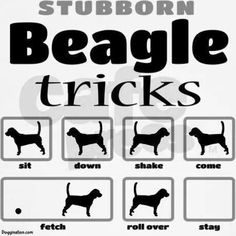 Stubborn Beagle. So true!  They have a mind of their own.  Crazy smart, and just a tad mischievous....
