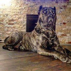 "278 mentions J'aime, 5 commentaires - ⚡ENERGY PRESA CANARIO⚡ (@energypresadogs) sur Instagram : "". . . ... . . . #presacanario #honesty #rawfeddog #dogpics #dogs #instabully #rawfeddogs…"""