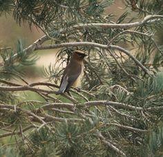 Have you ever tried Pinon Pine #ESSENTIALOIL ?  ospa.me/1vQd2TK