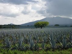 not really.  this is an agave field. 4 tequilla.