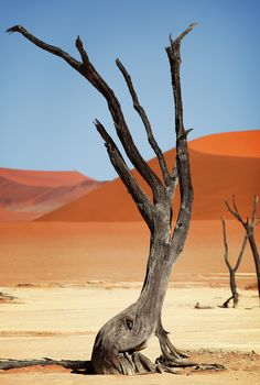 The dead trees at Deadvlei are camel thorn trees. Image credit: Dietmar Temps . http://reversehomesickness.com/africa/dead-vlei-sossusvlei-namibia/