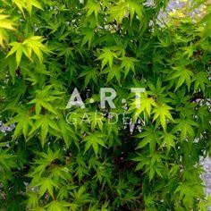 Erable du japon Acer palmatum 'Sangokaku'