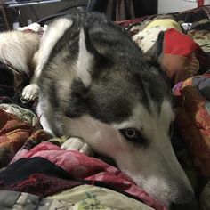 My Doggo Asoka   http://ift.tt/2ra8eqP via /r/dogpictures http://ift.tt/2r5HIDK  #lovabledogsaroundtheworld