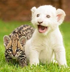 Baby white lion and jaguar
