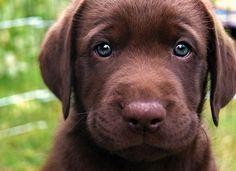 Chocolate Lab w/ colored eyes: My dream dog.