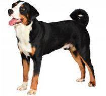 file_23244_what-is-the-appenzeller-sennenhunde-dog-300x189