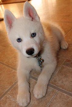Loki the Siberian Husky-A Handsome blue-eyed boy!