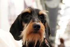 Just like my baby! A Wire haried dachshund   | 27 Beautiful Faces From The 2014 Westminster Dog Show