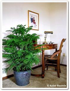 Indoor Plant Decor: Houseplant of the Week: Norfolk Island Pine