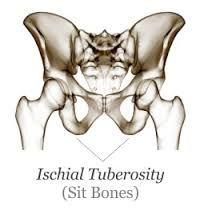 ischial tuberosity - Google Search