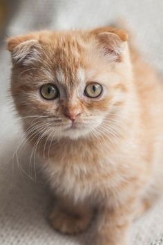 Small, Furry, Ginger, and a Scottish Fold. Pretty Cats, Beautiful Cats, Animals Beautiful, Cute Animals, Funny Animals, Cute Kittens, Cats And Kittens, Crazy Cat Lady, Crazy Cats