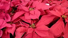 Pinching them back, giving them good sunlight and a night rest in the fall are the keys to re-blooming the signature plant of Christmas.