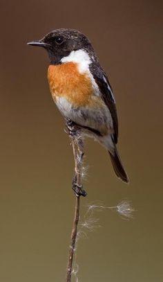 Common Stonechat (Saxicola torquatus) - Leemkuilen, Udenhout, North Brabant Province, Netherlands