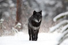 Why Are Some Gray Wolves Black?