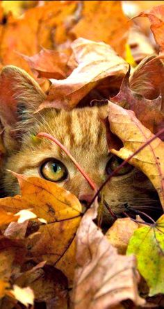 Precious Kitten Peeking out from the Fall Leaves. <3