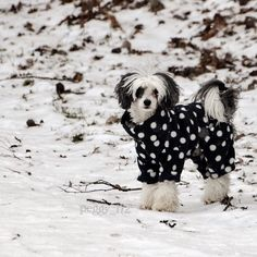 It's pretty cold outside minus 16 (3.2 degrees) have a lovely evening sweeties  #chinesecrested#chinesecresteddog#chinesecrestedpowderpuff#cutepetclub#whosepet#weheartpups#Excellent_Dogs#excellent_puppies#igclubdogs#ilovesnow#ptk_pets#animalsmood#amazing_picturez_animals#snow#Dog_Features#furrendsupclose#happy_pet#kinesisknakenhund#lacyandpaws#Nature_Cuties#meowvswoof#meowsandwoofs by peggy_l72