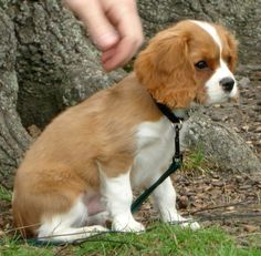 The Kennel Club was reluctant to recognize the new breed, but lastly, in 1945, after years of function by the breeders, the Cavalier King Charles Spaniel was recognized as a separate breed.