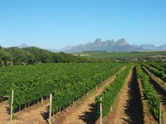 Vineyards in Stellenbosch. The first vineyards were planted in The Stellenbosch Wine Route was founded in Now known as the Stellenbosch American Express® Wine Routes, Cape Town Tourism, Chardonnay Wine, South African Wine, Wine Tasting Experience, Cape Town South Africa, Trip Planning, Trip Advisor, Vineyard, Tours