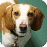 Richmond, VA - Beagle/Hound (Unknown Type) Mix. Meet Sarsaparilla a Dog for Adoption.