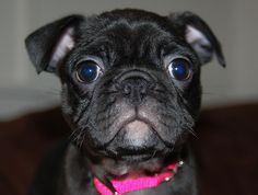 It's a Pug and Boston Terrier mix (a bug)! I miss my Beans... this looks just like him