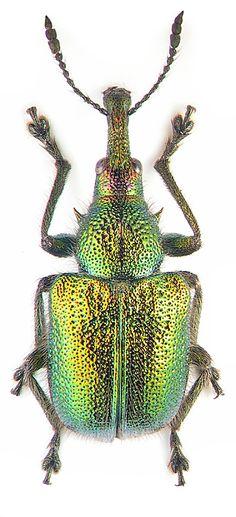 Rhynchitidae: Rhynchites auratus