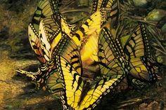 dance of butterflies