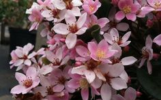 Eleanor Tabor Indian Hawthorne is an exceptionally low-maintenance, drought and heat tolerant evergreen shrub that produces an abundance of pink flowers in spring.