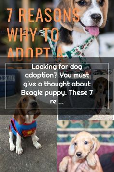Looking for dog adoption? You must give a thought about Beagle puppy. These 7 reasons why you should go for adoption Beagle puppy will help. #beaglesfullgrown Adoptable Beagle, Beagle Puppy, You Must, Adoption, Puppies, Thoughts, Dogs, Animals, Foster Care Adoption