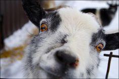 "Photo ""Goatinyourface!"" by prairiem.  #closeups#photography#contest#animals"