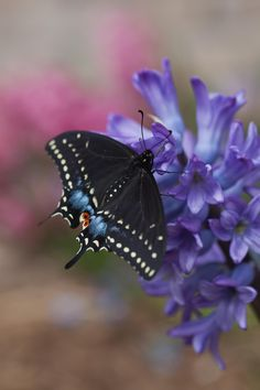 Black Swallowtail.  Saw one for the first time today eating nectar from dandelions in my weedy butterfly garden in Southeast Michigan.