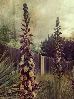 Praying For Rain by Mary Sherman, via Flickr | #texture #landscape #flowers #fence #green #pink #white #brown #iphoneography