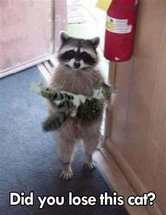 Raccoon holding kitten>  As I said Shout out to the first follower @peytoncrumrine   Thanks for following!!!!!!