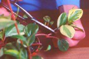 rooting veriagated peperomia with stem cutting