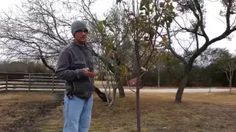 how to prune a young dwaf pear tree - YouTube