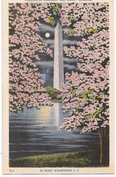 Cherry Blossoms and Washington Monument by Night Washington DC