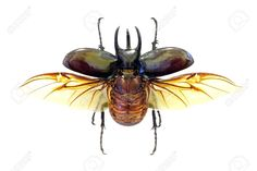 Picture of Exotic beetle Chalcosoma atlas in fly (isolated) stock photo, images and stock photography. Insect Wings, Insect Art, Beetle Insect, Beetle Bug, Vector Graphics, Vector Art, Snails In Garden, Bug Art, Love Bugs