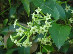La planta Galán de noche, perfecta para cultivar en jardines o macetas - https://www.jardineriaon.com/planta-galan-de-noche.html #plantas