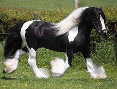 The Producer, Gypsy Vanner Horse stallion