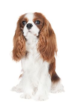 10 Surprising Facts about the Cavalier King Charles Spaniel