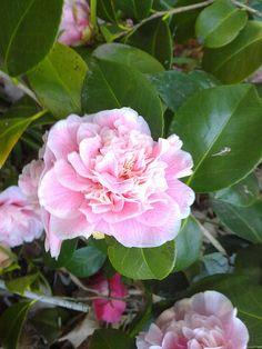 Camellia japonica 'Lady Loch' (Australia, 1889)