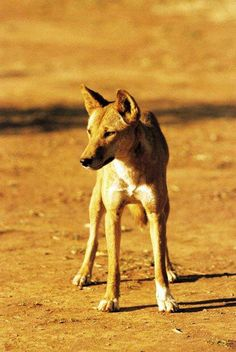 """For 24 hours,over 2 years researchers used sophisticated camera """"traps"""" placed across 8000 kilometre area.The result provided a detailed visual log of animal activity. During dry times the dingo is effective at suppressing populations of cats and foxes but with the big increase of prey during the boom time the dingoes are not able to keep up. The dingo is an unpaid pest species manager that works every day....If we leave them alone, they can help control populations of cats and foxes for…"""