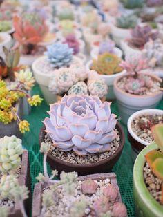Succulent and Cactus Love Succulent Bonsai, Planting Succulents, Planting Flowers, Echeveria, Agaves, Colorful Succulents, Plants Are Friends, House Plants Decor, Garden Terrarium