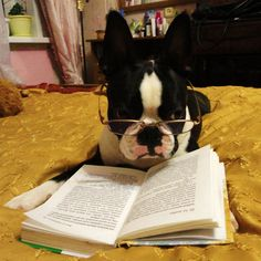 Leo the Boston Terrier dog from Arkhangelsk, Russia. Leo is wearing glasses to read a book on his bed.  http://www.bterrier.com/leo-the-boston-terrier-dog-reads-a-book-in-russia/  Like Boston Terrier Dogs Facebook page : http://www.facebook.com/bterrierdogs