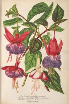 v.11 (1864) - L'Illustration horticole : - Biodiversity Heritage Library  From Pinner friend JT