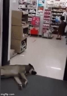 自動ドアのすき間で爆睡する犬…容赦ない突進を受けつづけるw:ぁゃιぃ(*゚ー゚)NEWS 2nd