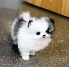 Pomeranian Dog Breed Information Teacup white and black Pomeranian puppy love obsession. Baby Animals Pictures, Cute Animal Pictures, Animals And Pets, Cute Dogs And Puppies, Little Puppies, Fluffy Puppies, Doggies, Tiny Puppies, Adorable Puppies