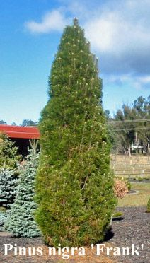 Pinus nigra 'Frank' A narrow, upright pine with dark green needles. Grows more than 2M in 10 years.